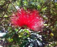 Blomma av Cerradoen Arkivbild