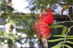 Blomma av Cerradoen Royaltyfri Foto