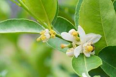 Blomma av citronträdfilialen royaltyfri bild