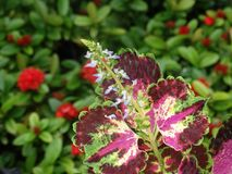 Blomma av coleusen - Plectranthus scutellarioides Royaltyfria Bilder