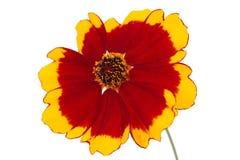 Blomma av coreopsis royaltyfria bilder
