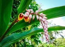 Blomma av Curcumalongaen på botaniska trädgården royaltyfria foton