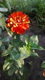 Blomma av cyniaen royaltyfri foto