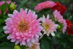 Blomma av dahliaen Fotografering för Bildbyråer