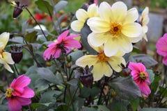 Blomma av dahliaen Arkivfoto