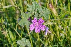 Blomma av den gemensamma malvan Fotografering för Bildbyråer