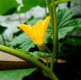 Blomma av den gula gurkan royaltyfria bilder