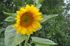 Blomma av den gula solrosen royaltyfri fotografi