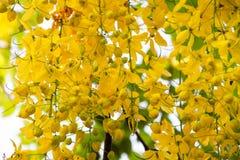 Blomma av den guld- duschen på träd Royaltyfria Foton