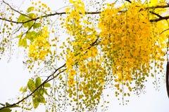 Blomma av den guld- duschen på trädet för textur Arkivbilder