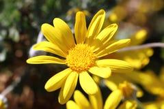 Blomma av den guld- tusenskönabusken Arkivbilder