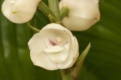 Blomma av den heliga anden royaltyfri bild