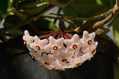 Blomma av den Hoya carnosaen, houseplants som påbörjar från vändkretsarna arkivfoto