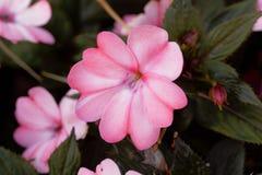 Blomma av den Impatiens wallerianaen Royaltyfri Fotografi