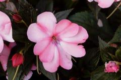 Blomma av den Impatiens wallerianaen Royaltyfri Foto