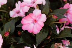 Blomma av den Impatiens wallerianaen Arkivfoton