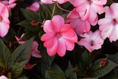 Blomma av den Impatiens wallerianaen Arkivfoto