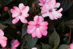 Blomma av den Impatiens wallerianaen Arkivbild