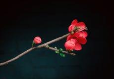 Blomma av den japanska kvitten Royaltyfria Bilder