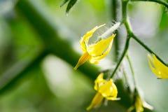Blomma av den körsbärsröda tomaten Fotografering för Bildbyråer