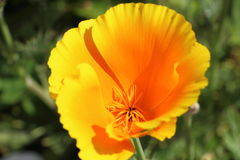 Blomma av den Kalifornien vallmo Arkivbild