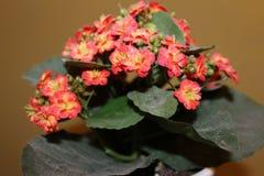 Blomma av den lösa härliga blomman, Arkivbild