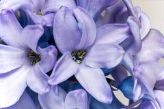Blomma av den purpurfärgade hyacintet som isoleras på vitbakgrund - slut upp Arkivfoton