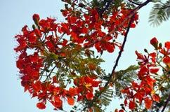 Blomma av den röda akacian för tropisk blomma i Lumbini Fotografering för Bildbyråer