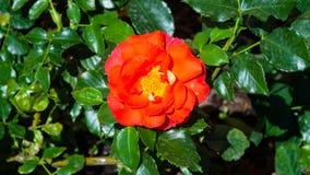 Blomma av den röda rosen i trädgården på en buskenärbild, selektiv fokus, grund DOF royaltyfri fotografi