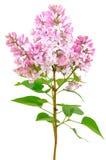 Blomma av den rosa lilan (syringaen) arkivfoton