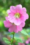 Blomma av den rosa malvan Arkivbilder