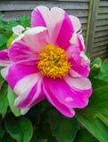 Blomma av den rosa pionen som kringgår närbilden, bakgrund arkivfoton