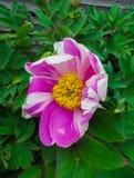 Blomma av den rosa pionen som kringgår närbilden, bakgrund arkivbild