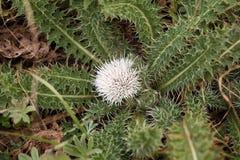 Blomma av den Rosette Thistle Carduus chamaecephalusen Arkivfoto