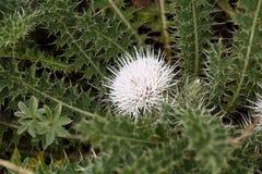Blomma av den Rosette Thistle Carduus chamaecephalusen Royaltyfri Fotografi
