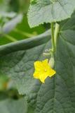 Blomma av den trädgårds- melon Arkivbild