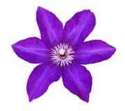 Blomma av den violetta klematins arkivbilder