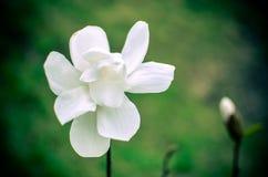 Blomma av den vita magnolian upp slut royaltyfria bilder