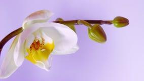 Blomma av den vita orkidén stock video