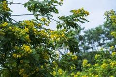 Blomma av det förvanskade äggträdet Arkivbild
