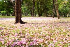 Blomma av det rosa trumpetträdet som faller på jordning Arkivbilder