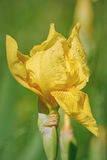 Blomma av en gul svärdslilja Arkivfoto