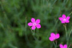 Blomma av en jungfru- rosa färg arkivbild