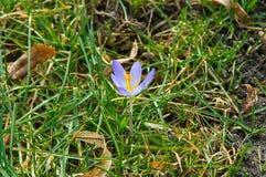Blomma av en krokus på gras arkivbilder