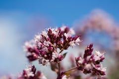 Blomma av en origanum på blått Arkivfoton