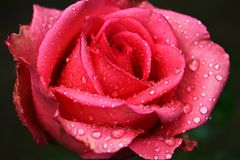Blomma av en rosa färgros med regndroppar på kronblad royaltyfri bild
