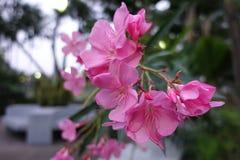 Blomma av en rosa oleander Royaltyfri Foto