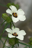 Blomma-av-en-timme Arkivfoton