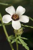 Blomma-av-en-timme Fotografering för Bildbyråer