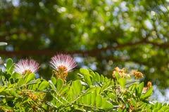 Blomma av för valnötregn för östlig indier trädet royaltyfri fotografi
